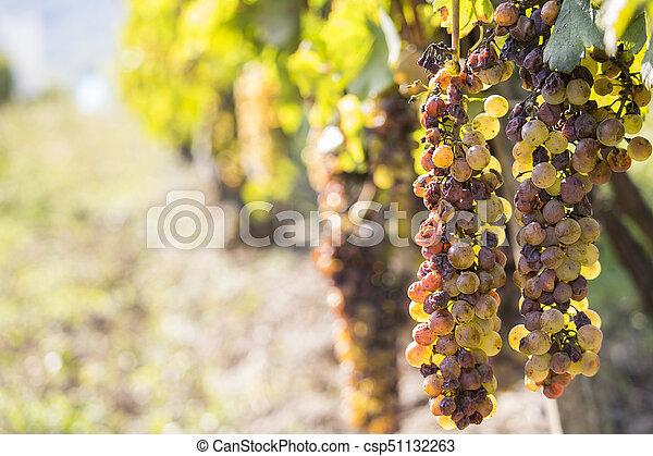 Noble putrefacción de una uva de vino, uvas botrytizadas - csp51132263