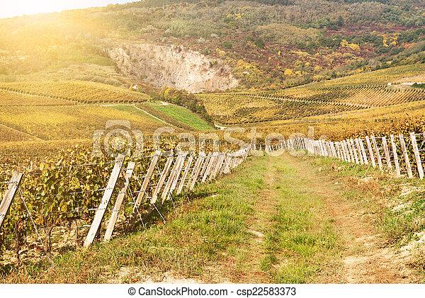 Noble putrefacción de una uva de vino, uvas botrytizadas - csp22583373