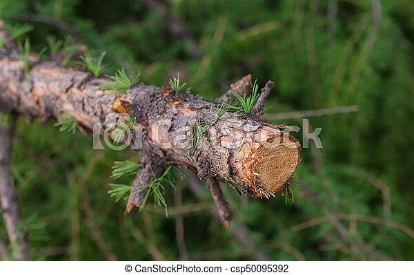 nodi, primo piano, modello, rovesciato, anelli, larice, ramo, tronco - csp50095392