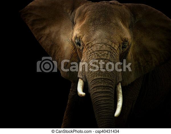 noir, contre, fond, éléphant - csp40431434
