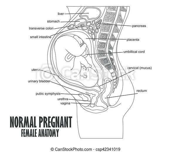 Vector Illustration Of Normal Pregnant Female Anatomy