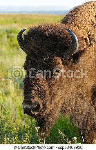 North American Buffalo - csp53487928