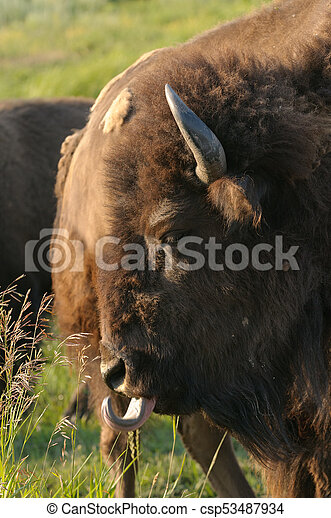 North American Buffalo - csp53487934