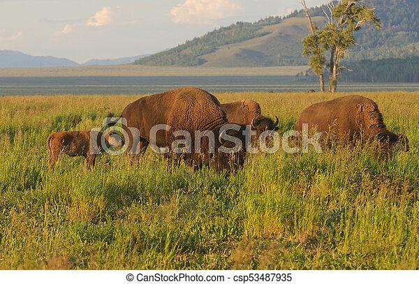 North American Buffalo - csp53487935