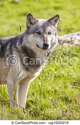 North American Gray Wolf, Canis Lupus - csp16304219