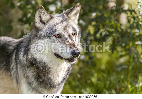 North American Gray Wolf, Canis Lupus - csp16300861