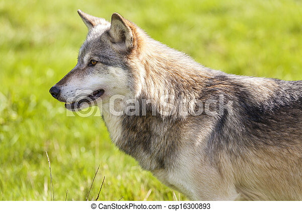 North American Gray Wolf, Canis Lupus - csp16300893