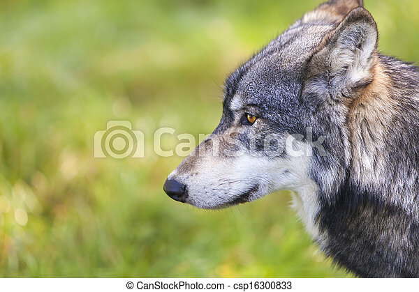 North American Gray Wolf, Canis Lupus - csp16300833