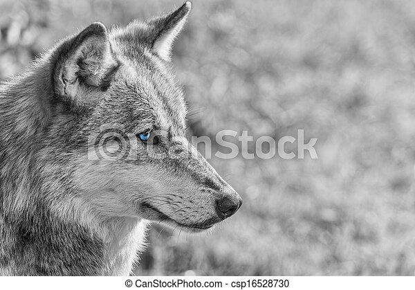 North American Gray Wolf WIth Blue Eyes - csp16528730