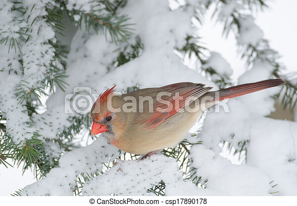 Northern cardinal in a tree - csp17890178