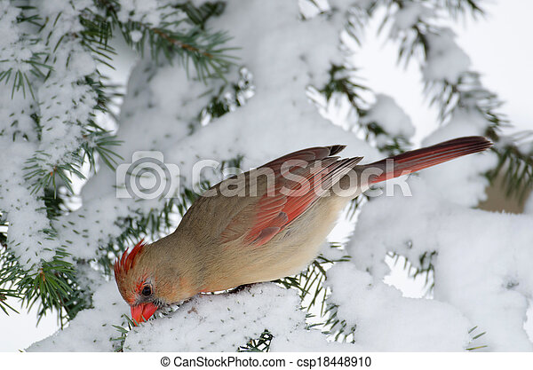 Northern cardinal in a tree - csp18448910