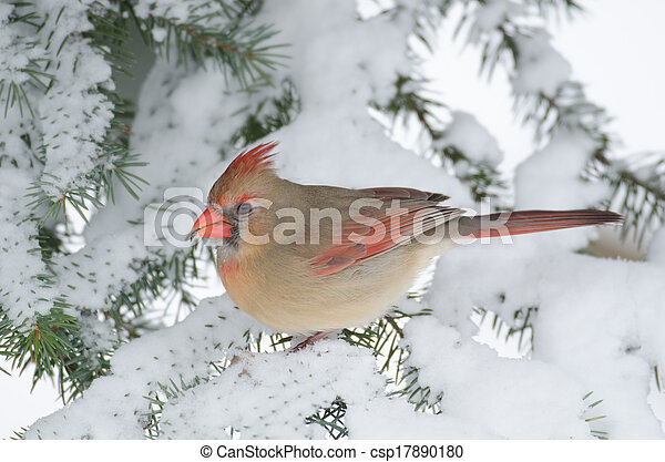 Northern cardinal in a tree - csp17890180