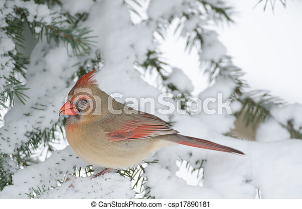Northern cardinal in a tree - csp17890181