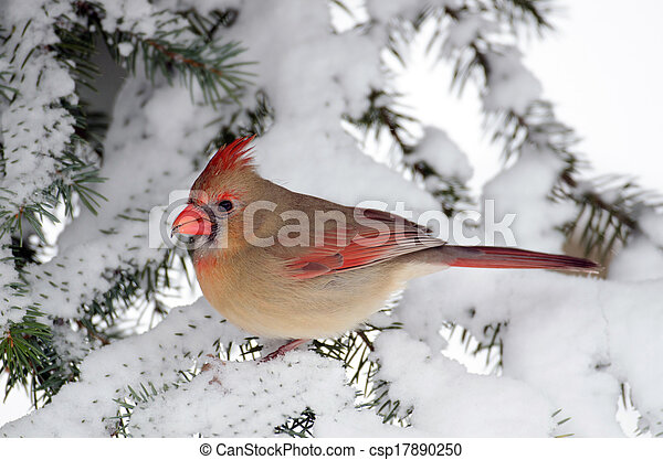 Northern cardinal in a tree - csp17890250