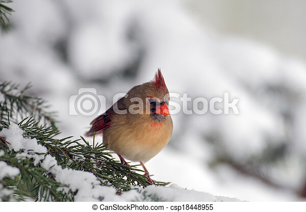 Northern cardinal in a tree - csp18448955