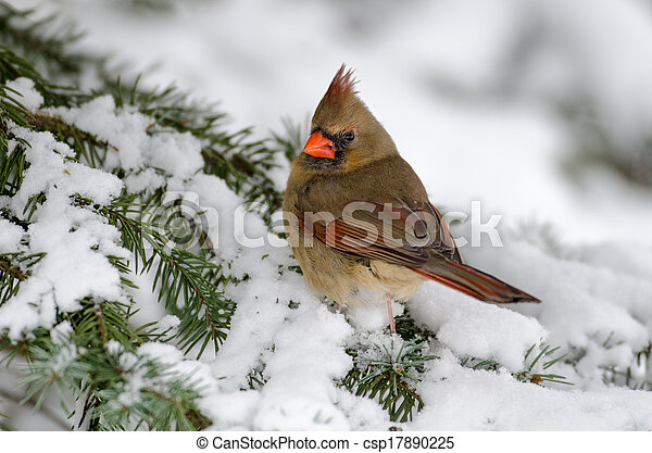 Northern cardinal in a tree - csp17890225