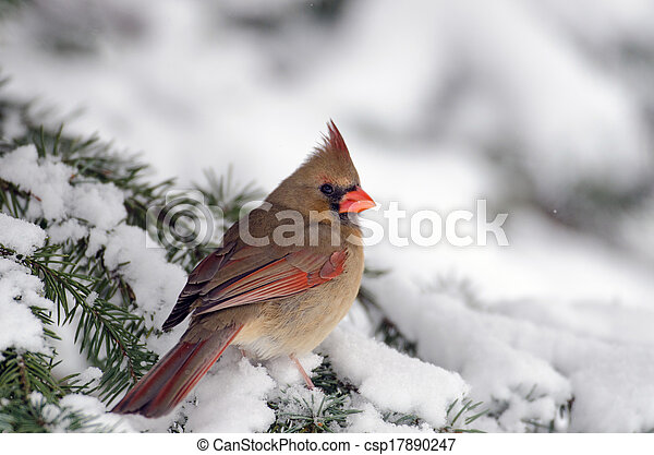 Northern cardinal in a tree - csp17890247