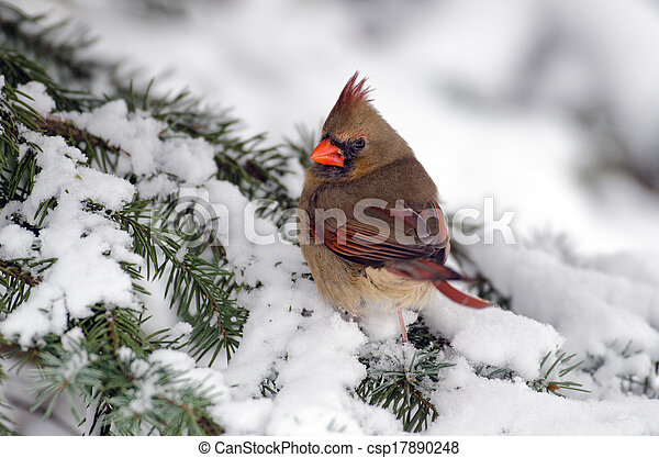 Northern cardinal in a tree - csp17890248