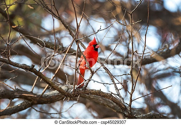 Northern Cardinal in Winter - csp45029307