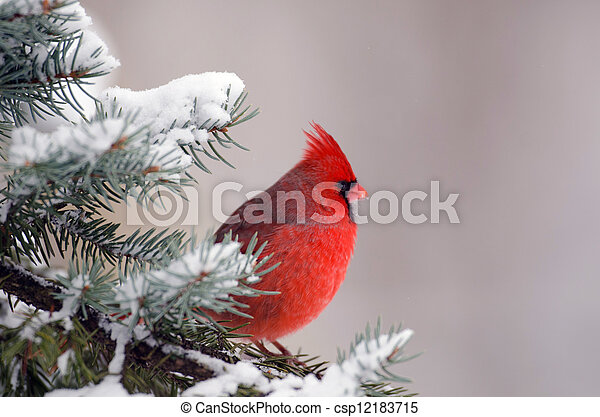 Northern cardinal perched in a tree - csp12183715
