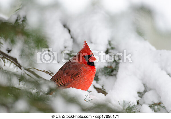 Northern cardinal perched in a tree - csp17890171