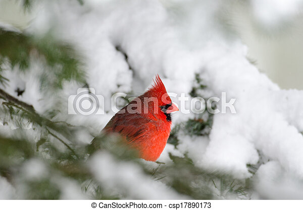 Northern cardinal perched in a tree - csp17890173