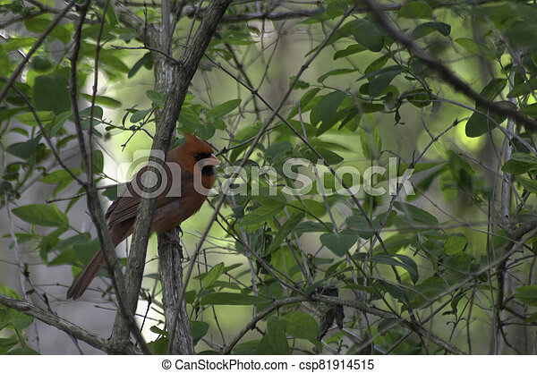 Northern Cardinal perched in a tree - csp81914515