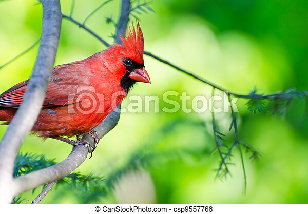 Northern Cardinal Perched in a Tree - csp9557768