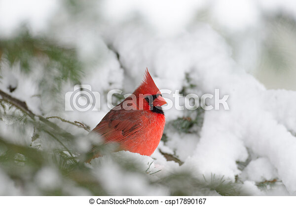 Northern cardinal perched in a tree - csp17890167