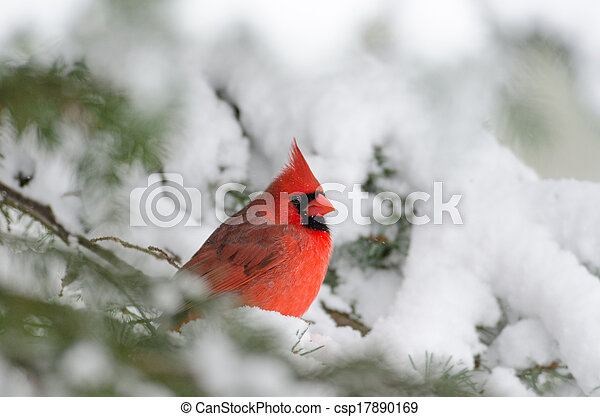 Northern cardinal perched in a tree - csp17890169