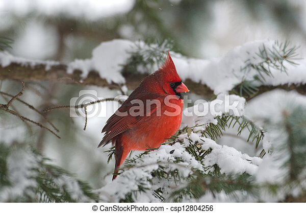 Northern cardinal perched in a tree - csp12804256