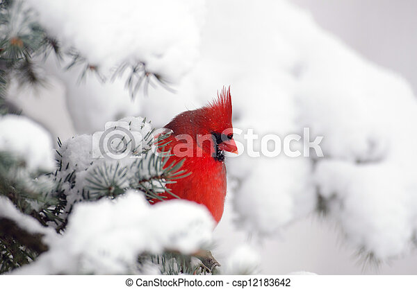 Northern cardinal perched in a tree - csp12183642