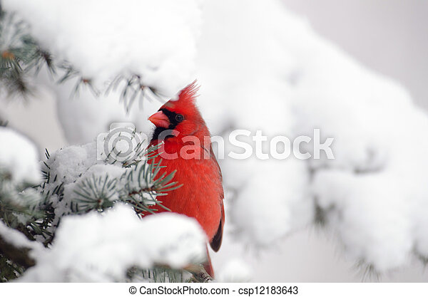 Northern cardinal perched in a tree - csp12183643
