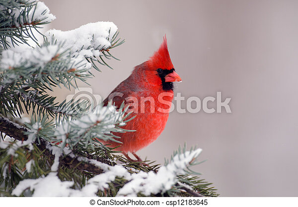 Northern cardinal perched in a tree - csp12183645