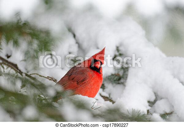 Northern cardinal perched in a tree - csp17890227