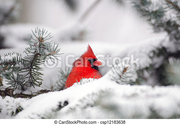 Northern cardinal perched in a tree - csp12183638
