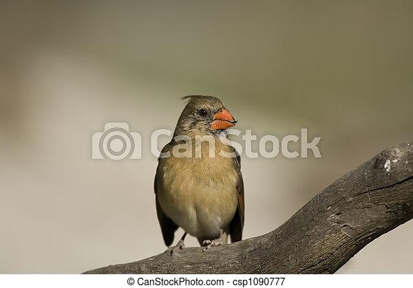 Northern Cardinal perched - csp1090777