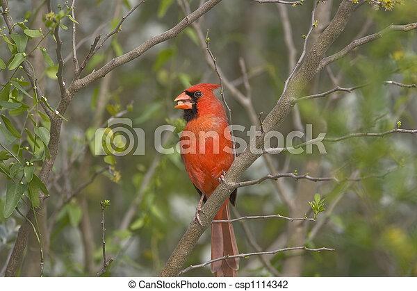Northern Cardinal perched - csp1114342