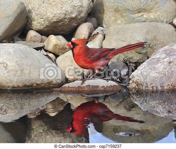 Northern Cardinal - csp7159237