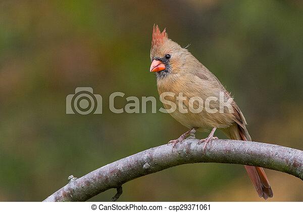 Northern Cardinal - csp29371061