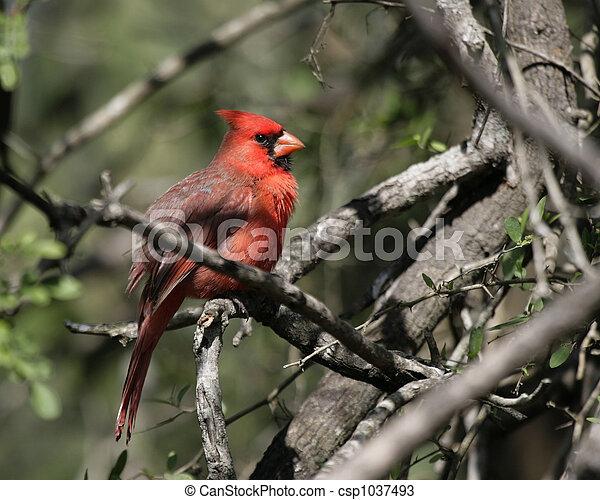 Northern Cardinal - csp1037493