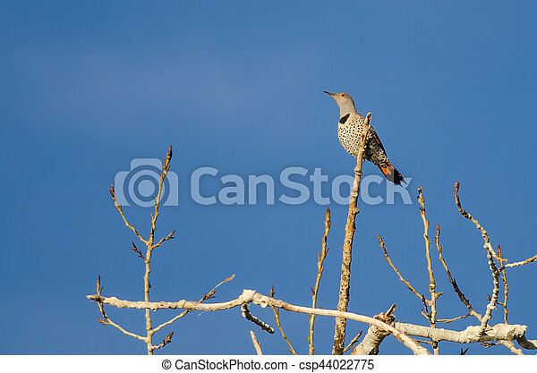Northern Flicker Perched High in a Tree - csp44022775