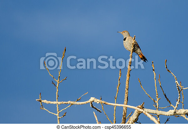 Northern Flicker Perched High in a Tree - csp45396655