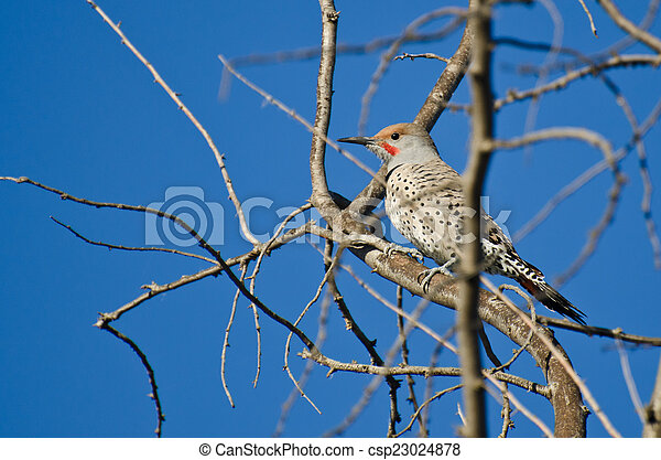 Northern Flicker Perched in a Tree - csp23024878