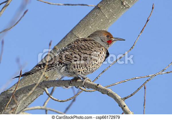Northern flicker perched in tree. - csp66172979