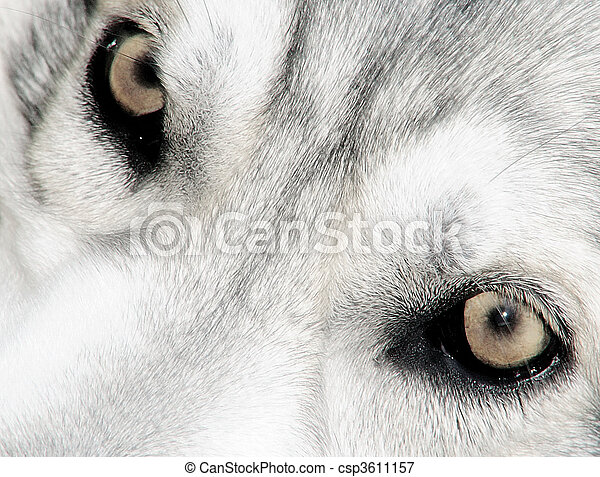 Northern Inuit wolf eyes - csp3611157