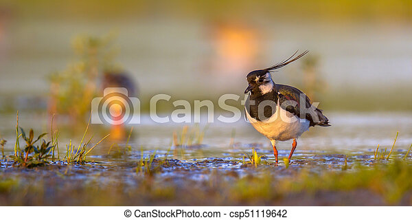 Northern lapwing in wetland habitat with warm colors - csp51119642