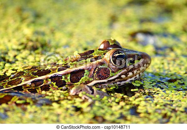 Northern Leopard Frog (Rana pipiens) - csp10148711