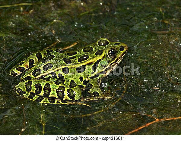 Northern Leopard Frog(Rana pipiens) - csp4316611