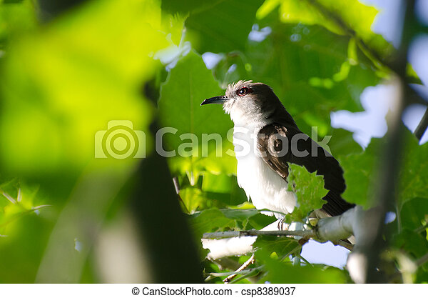 Northern Mockingbird in a Tree - csp8389037